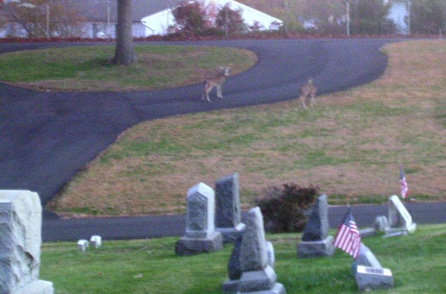 Deer at the cemetery means no evil spirits to spook them!